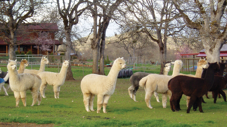 #72 – Alpacas at Lone Ranch