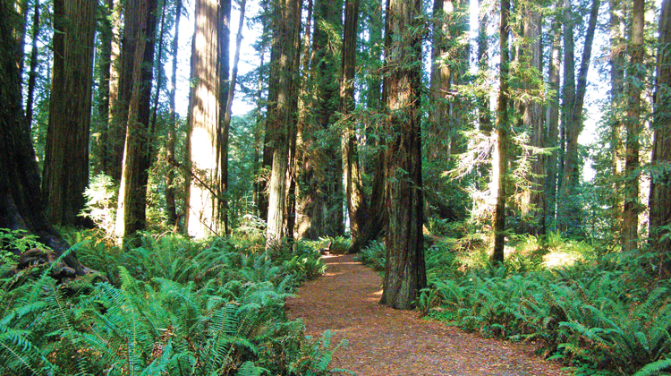 #19 – Stout Grove, Jedediah Smith Redwoods State Park