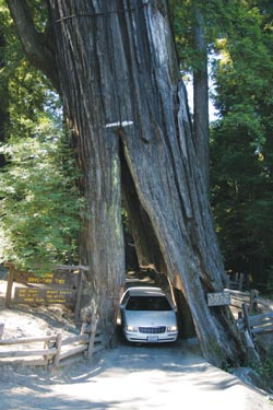 The Shrine Drive-Thru Tree, photo by Gregg Gardiner