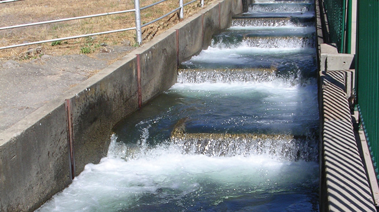 coleman fish hatchery, salmon spawning, things to do, fishing shasta county